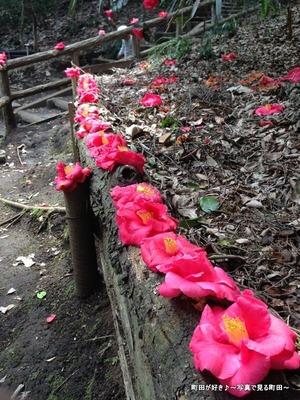 2014032943赤いツバキの花@芹ヶ谷公園
