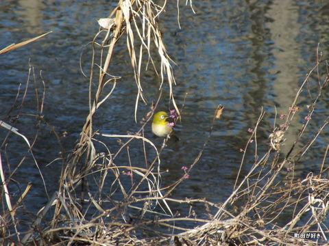 2013011220謎の鳥はメジロ・・・@恩田川
