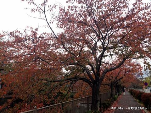 2013110902紅く色付く恩田川の桜並木