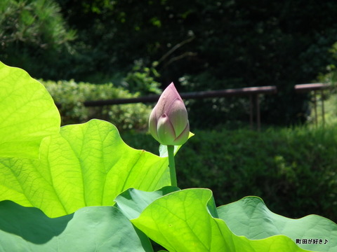 2011071626薬師池公園の大賀ハス