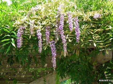 2011071608藤の花@なかよし散歩道