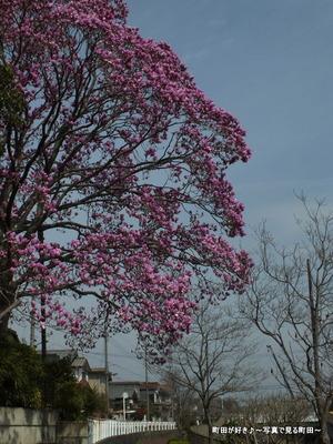 2013032060紫色のモクレンの花が満開です@恩田川