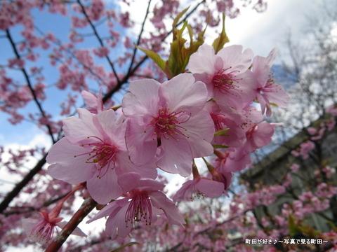 2014032156恩田川沿いの早咲きのサクラ