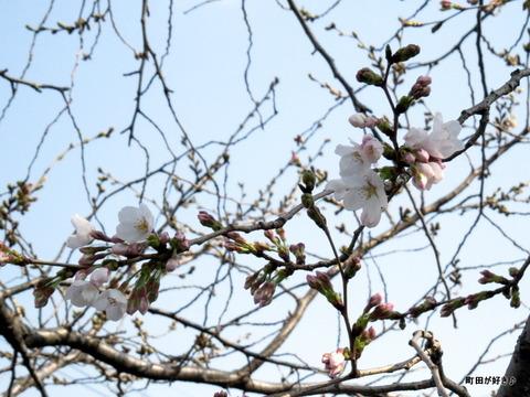2016032007恩田川の桜
