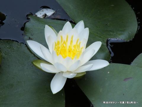2013052653薬師池公園・睡蓮の池