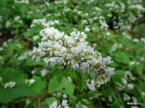 2011092346残念な、蕎麦の白い花たち