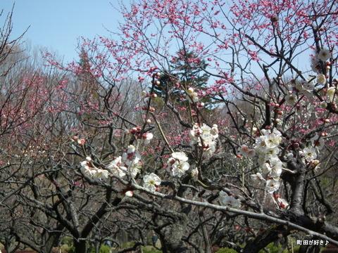 2012032050薬師池公園の梅の花