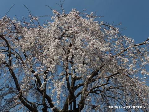 2013031644原町田五丁目交差点のシダレザクラが満開です
