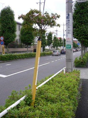 2009051706.jpg ど根性ツツジ 東京都町田市木曽東3