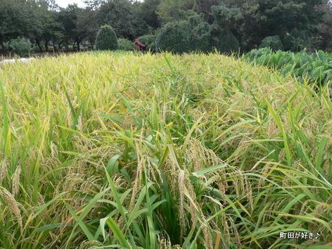 2009092209 小川・金森を歩く 稲 麦