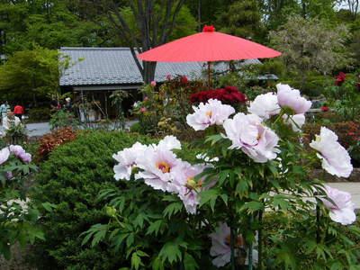 20090418100.jpg 町田ぼたん園 牡丹