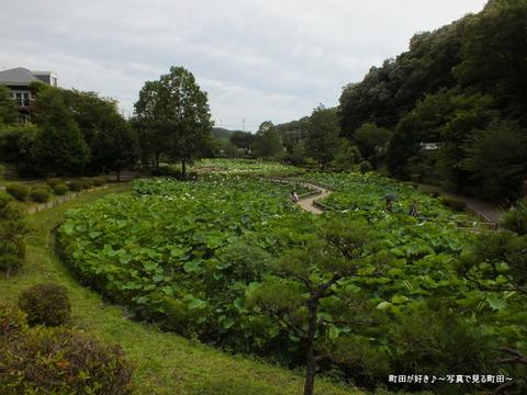 2013070625薬師池公園の大賀ハス