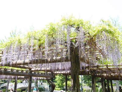 20090429080.jpg 薬師池公園の藤棚