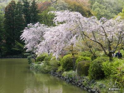 20100418122シダレザクラ(枝垂桜)