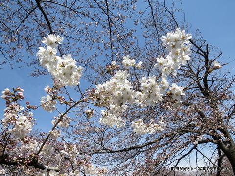 2015032883恩田川の桜並木