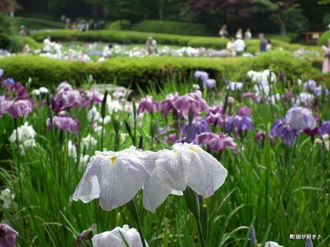 20120617024ハナショウブ@薬師池公園
