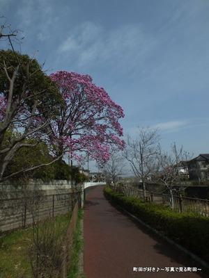 2013032059紫色のモクレンの花が満開です@恩田川