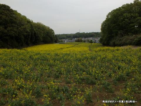 20130420084七国山の菜の花