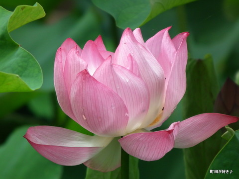 2012071437薬師池公園の大賀ハス