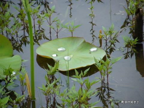 20100529268薬師池公園のハス田