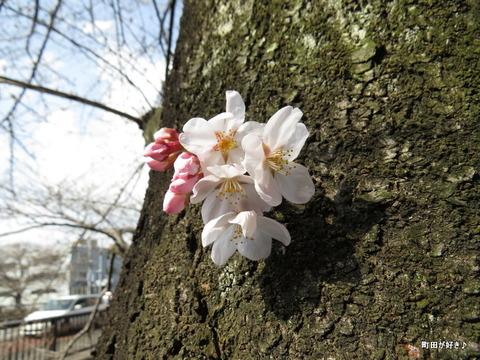 2016032018恩田川の桜