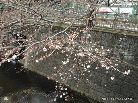 2013031801恩田川のサクラ