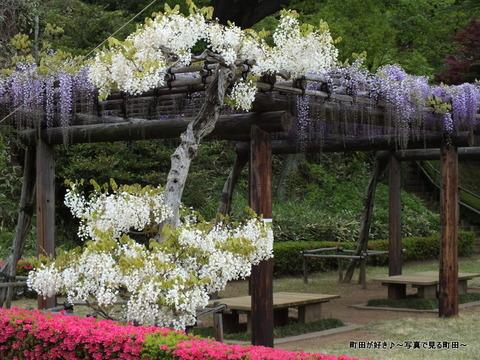 20130420131町田ぼたん園