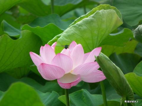 2012072225薬師池公園の大賀ハス