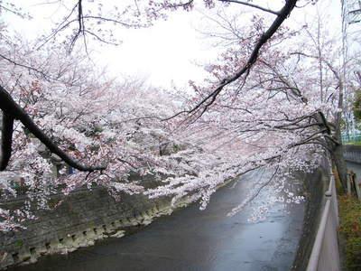 20090404057.jpg 恩田川の桜が見頃です