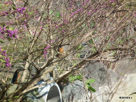 2010110363薬師池公園カワセミ2匹