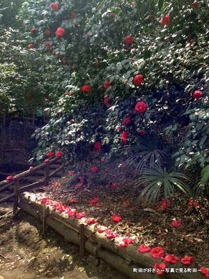 2014032941赤いツバキの花@芹ヶ谷公園