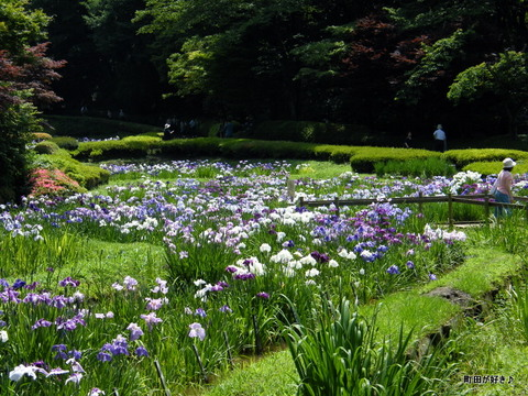 20100619254薬師池公園の花菖蒲