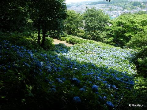 20100612149町田えびね苑<アジサイ>