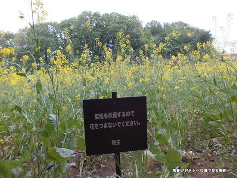 20130420087七国山の菜の花