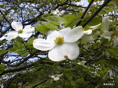 2010042912ハナミズキ(花水木)