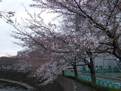 2009032814.jpg 恩田川の桜、1分咲きから3分咲き