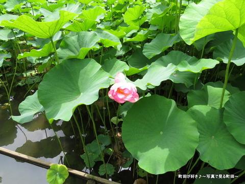 20140706038薬師池公園の大賀ハス(古代ハス)