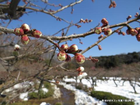 20140222036雪と梅の花@薬師池公園