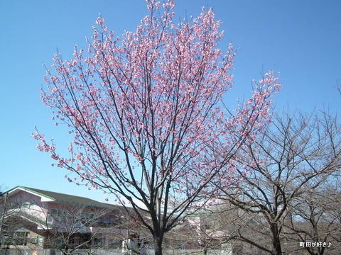 20110327013恩田川のサクラ
