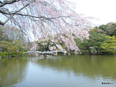 20100418125シダレザクラ(枝垂桜)