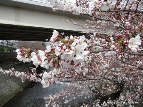 2015032805恩田川の桜並木