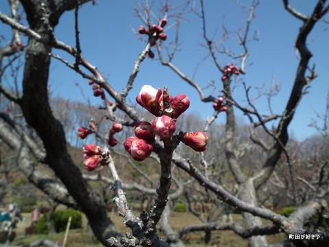 2012032039薬師池公園の梅の花