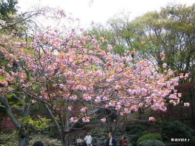 20100418138サトザクラ(里桜)