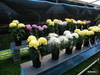 20091103015 第16回町田市菊花展