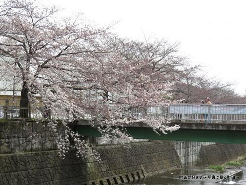 2015032804恩田川の桜並木