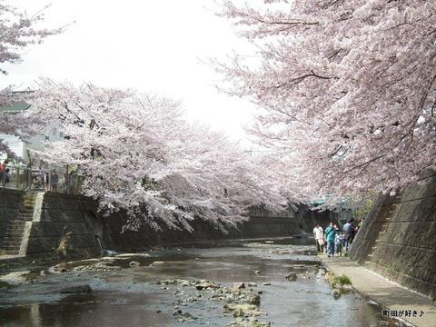 20110410154恩田川・高瀬橋の桜
