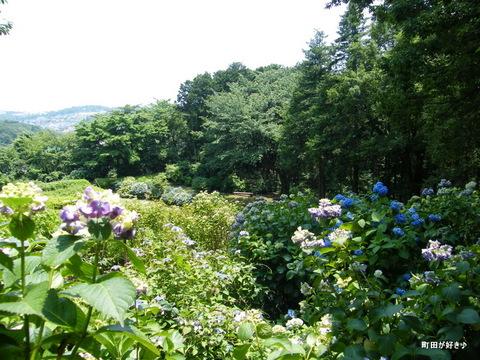 20100612140町田えびね苑<アジサイ>