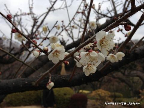20130303124薬師池公園の梅の花
