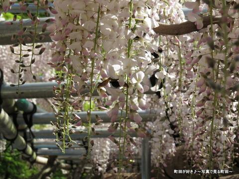20140428146薬師池公園の藤の花