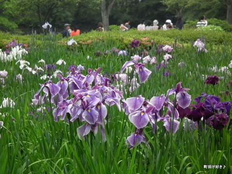 20110612011薬師池公園ハナショウブ